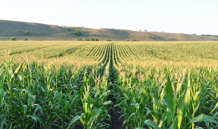 Вчені визначили найкращий для кукурудзи спосіб обробітку ґрунту та удобрення