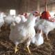 Повне видалення збудника мікоплазмозу з організму птиці практично неможливо