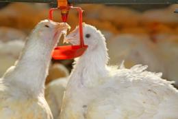 Датчик біоплівки дозволяє перевіряти забрудненість питної води у пташнику