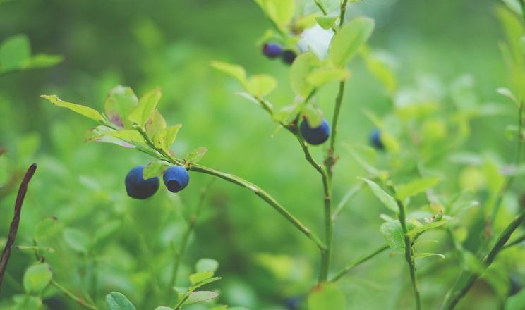 Які сорти лохини рекомендовано вирощувати в Україні