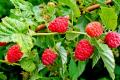 «Дедденс Агро» розширюватиме плантації органічної малини до 30 га