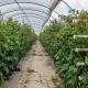 Консультантка порекомендувала на Півдні вирощувати малину в закритому ґрунті