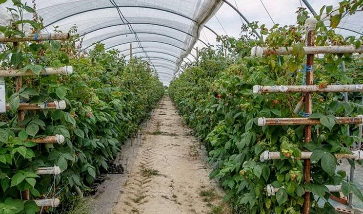 При вирощуванні органічних ягід важливе значення має схема посадки рослин
