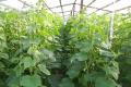 Регулятори росту в комбінації з мікродобривами підвищують врожайність огірків до 25%