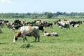 Пасовище для корів потребує підживлення
