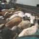 М'янма оприлюднила вимоги до імпорту живих тварин і продуктів тваринного походження