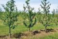 Молоді персикові дерева за сильного усихання видаляють і спалюють