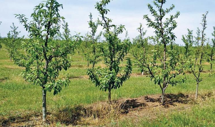 Персиковий сад найкраще закладати навесні