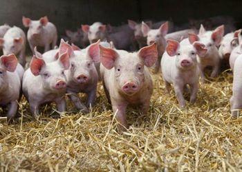 Понад 75% промислових виробників свинини планують нарощувати обсяги виробництва