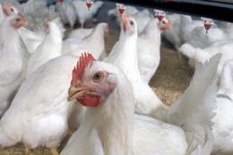 Поголів'я птиці за 10 місяців скоротилося на 4,3%