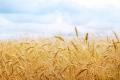 Ціни на пшеницю обвалилися на тлі звіту USDA