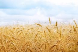 Погода сприяє формуванню гарного врожаю зерна у світі в поточному сезоні, - аналітики