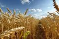 Grain Alliance прогнозує гарний урожай озимої пшениці