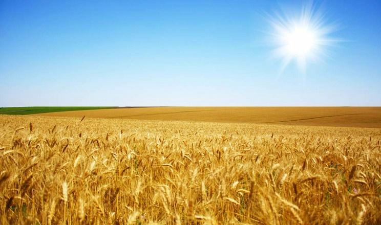 Озима пшениця дає вищу врожайність за вирощування по чорному пару, ніж по непаровим попередникам