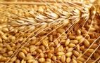 Пшеничні перспективи: світове виробництво скоротиться, експорт зросте