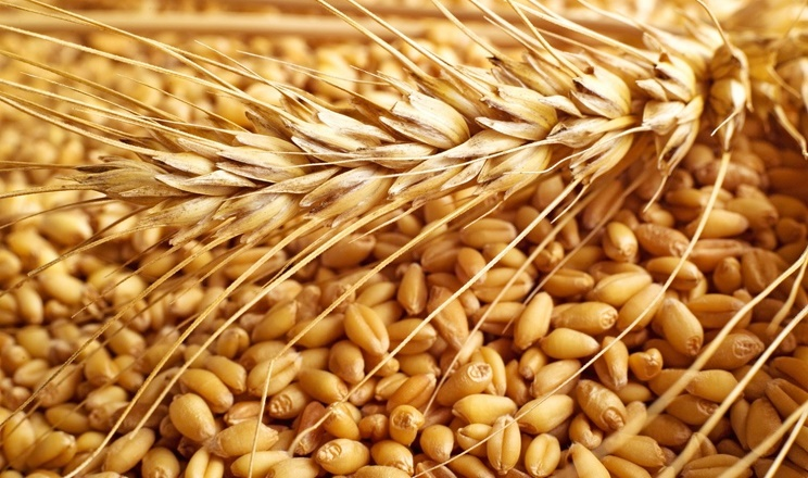Урожай зернових та олійних в поточному сезоні може сягнути 96,25 млн тонн