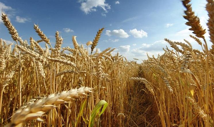Вчені визначили сорти озимої пшениці, найстійкіші до хвороб листя