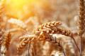 Погодні умови посприяли збільшенню врожайності зернових на Вінниччині