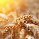 «Подільська марка» сіє лише першу та другу репродукції зерна озимої пшениці