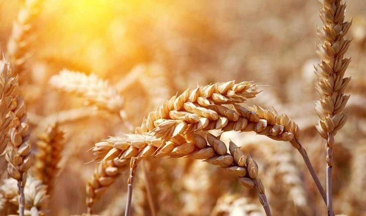 «Агротрейд» збільшив урожайність озимої пшениці на 14%