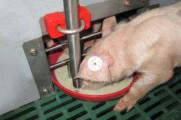За рідкої годівлі свиней можна скоротити витрати зернових кормів