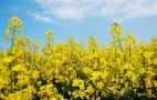 Учений спрогнозував урожайність ріпаку