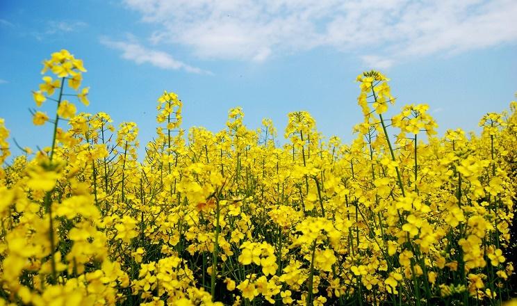 Господарство «Україна» відпрацьовує технологію вирощування ріпаку на Луганщині