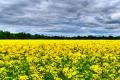 «Агросетон» на чверть зменшив посіви озимого ріпаку