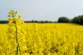 Ціни на ріпак ростуть через зниження прогнозів урожаю в ЄС