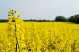 Данський фермер знайшов спосіб боротьби з бур'янами в посівах органічного ріпаку