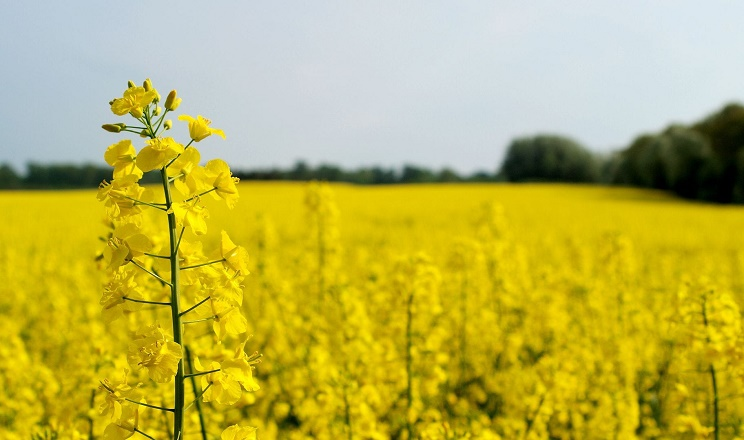 Озимий ріпак дає найбільшу кількість стручків за мілких і поверхневого обробітків ґрунту
