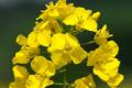 Багато популяцій ріпакового квіткоїду набули резистентність до інсектицидів