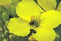 Визначено найоптимальнішу фазу для захисту ріпаку від квіткоїда