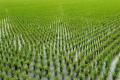 Надлишок фосфатів у грунті негативно впливає на стійкість рису до патогенів, - дослідження