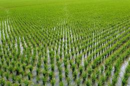 Подальші зміни клімату не вплинуть на стресостійкість рису, - дослідження