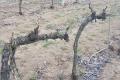 Які зелені операції застосовують на виноградниках «Агрофірми Шабо»