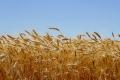 Вартість вітчизняної пшениці опустилася до трирічного мінімуму