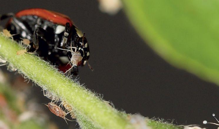 Сонечка і в дорослому віці, і в личинкових стадіях живляться шкідниками саду