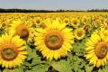 Туреччина істотно наростила імпорт українського соняшнику
