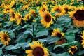 «Укрлендфармінг» очікує на рекордний урожай соняшнику