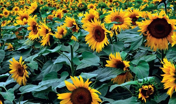 KSG Agro озвучив перші показники врожайності соняшнику