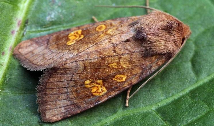 До початку вересня в Україні спостерігатиметься літ метеликів капустяної совки другого покоління