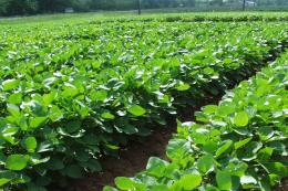 Для мінімізації втрат урожаю посіви сої слід розміщувати на вирівненій ділянці