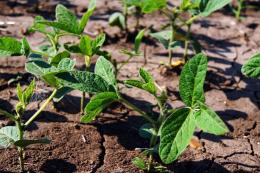 Є велика ймовірність ураженная посівів сої бактеріальним опіком