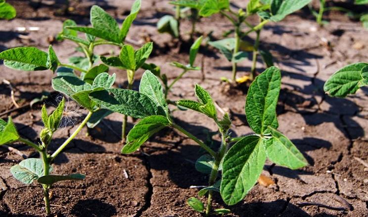 Через білу гниль «Ліщинське» цього року відмовилось від вирощування сої