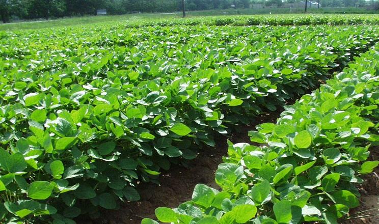 Соя виносить з ґрунту втричі менше азоту за кукурудзу