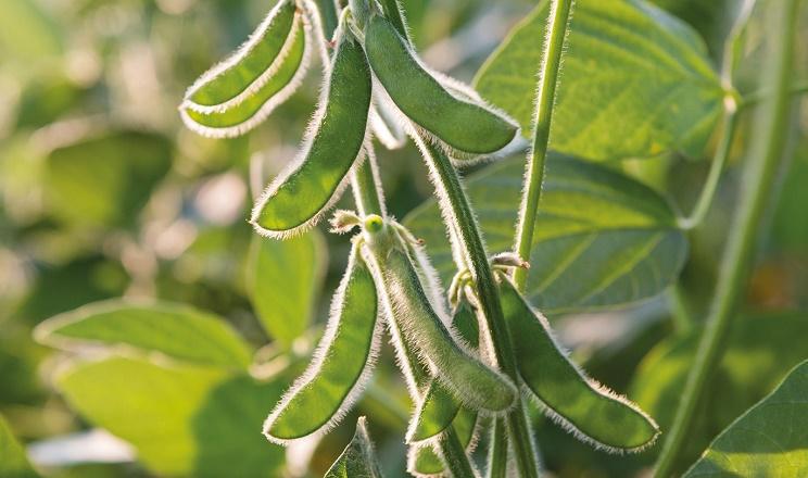 За вологості насіння сої 11% і нижче збільшуються втрати врожаю