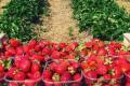 Вчені визначили фактори, що відповідають за колір і смак полуниці