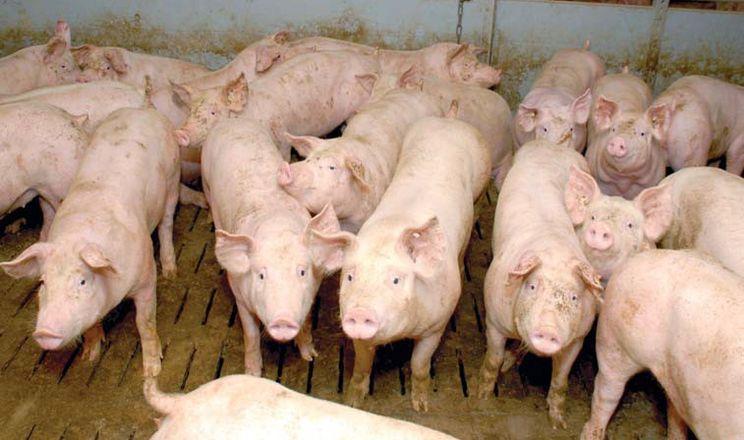 Ціна на живець свиней трохи просіла