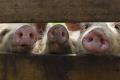 Новий вірус грипу, виявлений у китайських свиней, може загрожувати пандемією